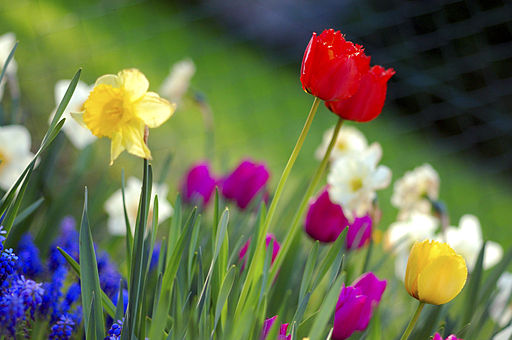 By Anita Martinz from Klagenfurt, Austria (Colorful spring garden) [CC-BY-2.0 (http://creativecommons.org/licenses/by/2.0)], via Wikimedia Commons